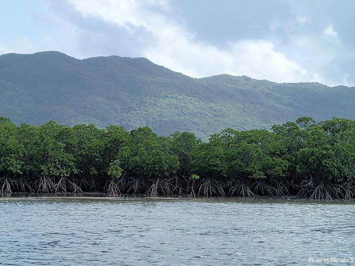 浦内川支流下流部のヤエヤマヒルギ群落