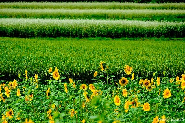 仁木町銀山 向日葵と稲、そして蕎麦