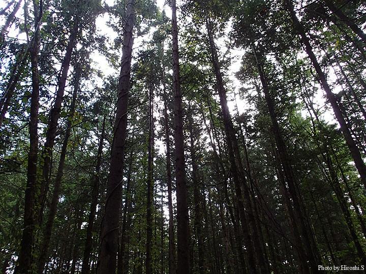 もともと北海道の固有種ではないのだが、ここまで伸びると立派な林だ。