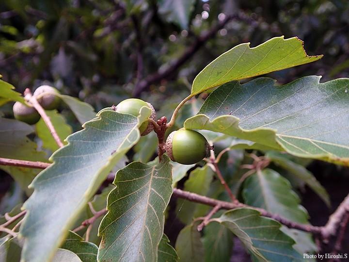 コナラの実も熟してきた様だ。