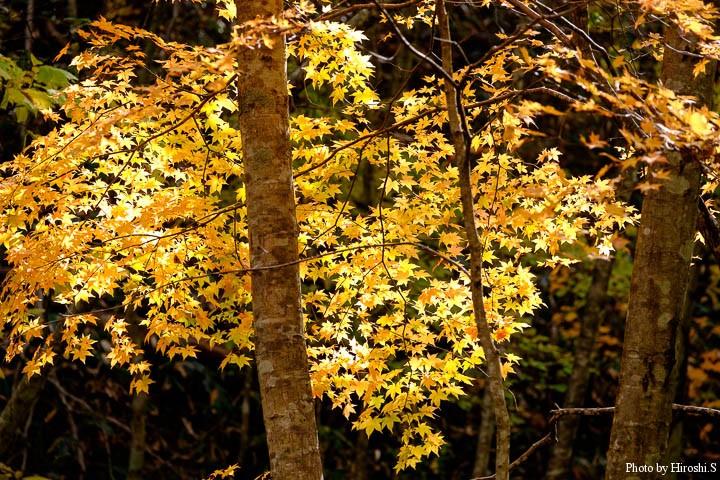 逆光に輝く葉が美しかった。