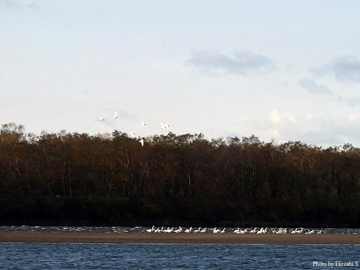 この時期は下流に白鳥が集結するようだ。結氷後は上流域へ。