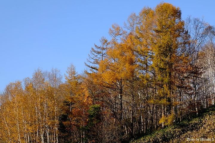 晩秋はカラマツの黄金色に癒やされることが多い。