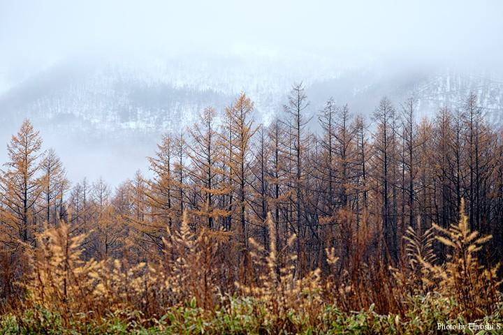 カラマツ林の奥は雪。冬の到来である。