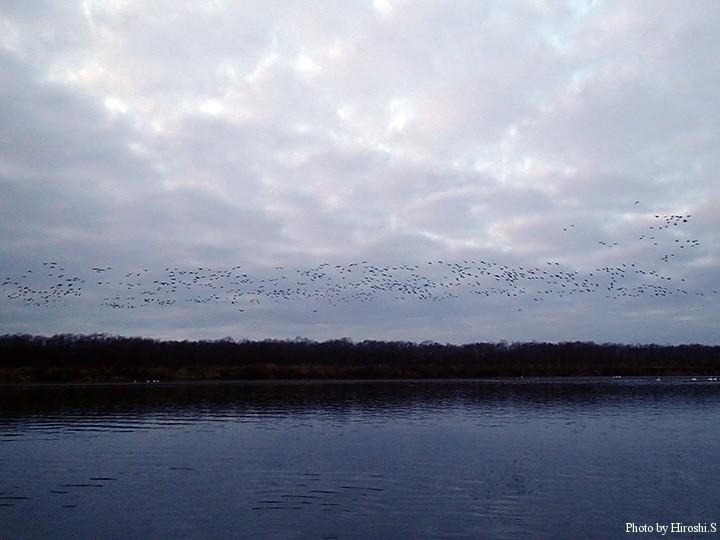 川を降りると、雁のねぐら立ちに出くわした。