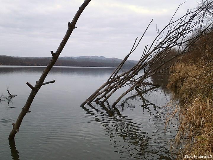 こうした立ち枯れした木々の沖にも、不思議と魚は着いている。