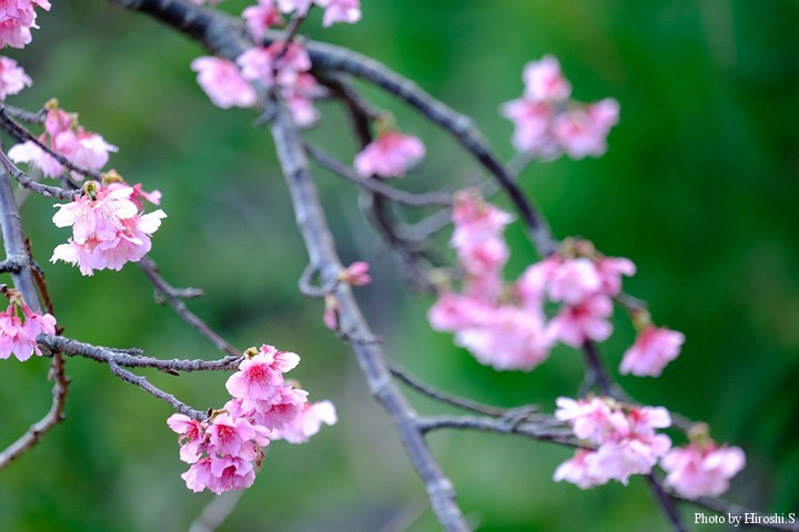 本部町 八重岳の緋寒桜