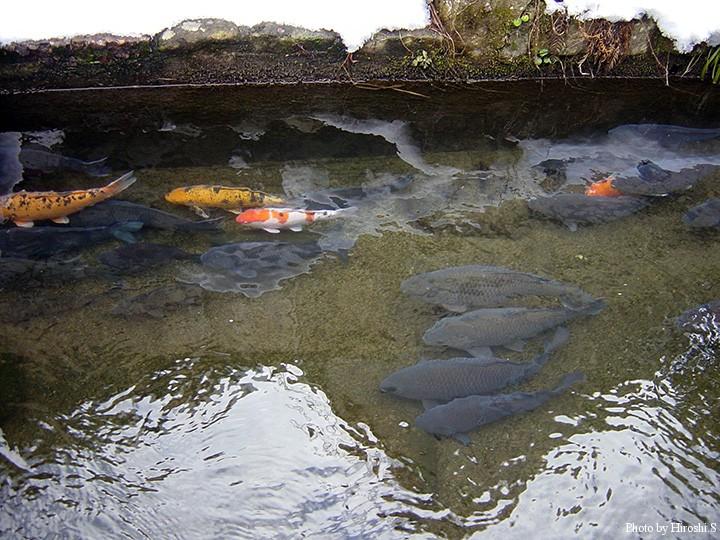 用水路に放された鯉