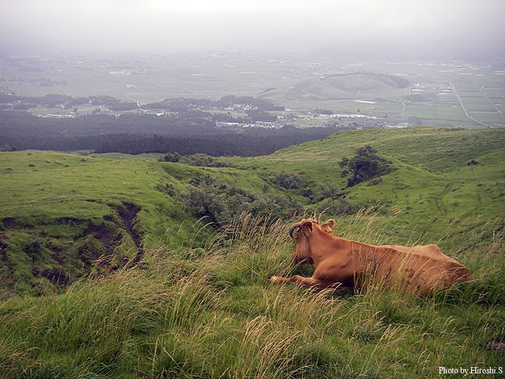 阿蘇山上へ向かう途中の放牧牛