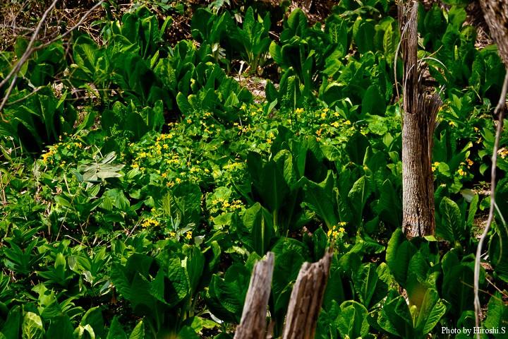 水芭蕉に囲まれた中に、エゾノリュウキンカが咲いていた。