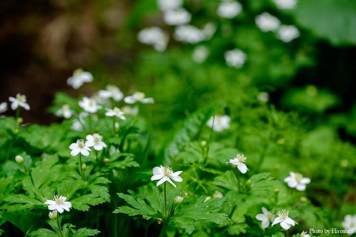 ニリンソウ 白く小さな花を控えめに咲かすが、群落となっているので、絵になる。