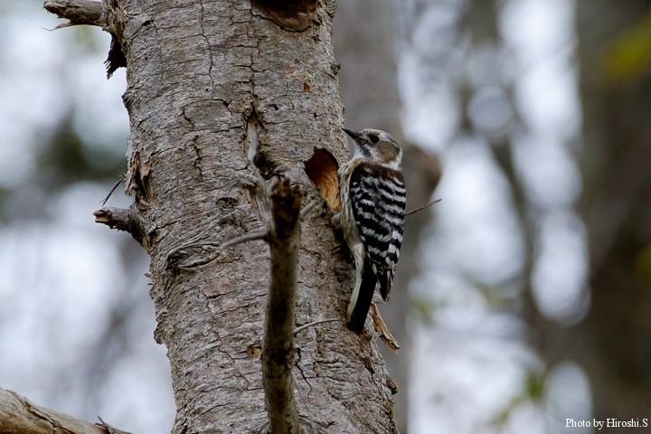 コアカゲラの幼鳥か?