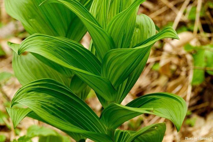 毒草だが、大きな葉の明暗はとても美しいと思う。