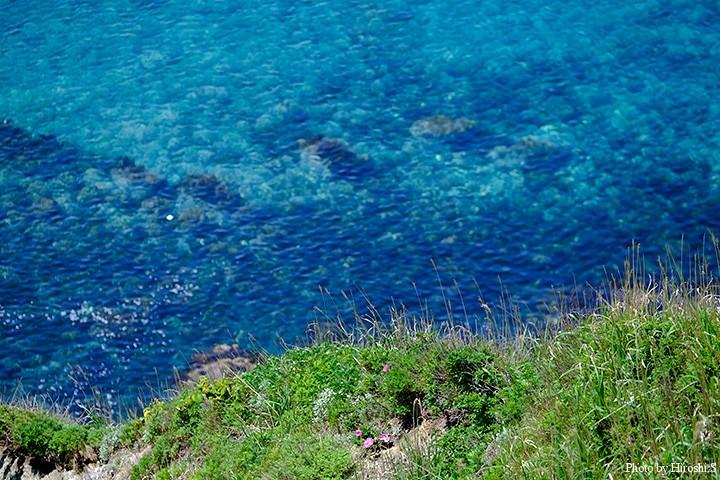 神威岬 崖ぎりぎりにハマナスが咲いている