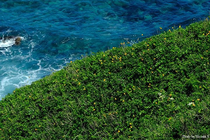 神威岬 エゾカンゾウは既に盛期に入りつつあるようだ。