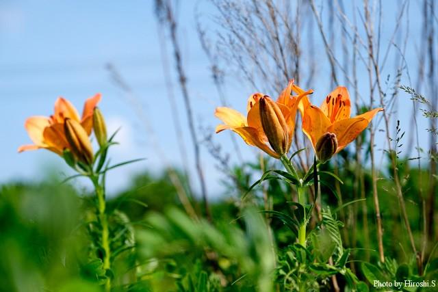 エゾスカシユリ この原生花園では、そこそこの群落となって咲いている事が多く、見応えはあるかもしれない