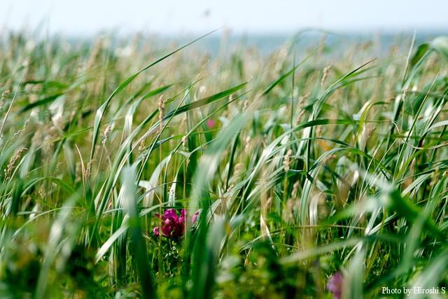 ハマニンニクはハマナスよりも海よりに群生しているのだが、僅かにその中で花を咲かせていた