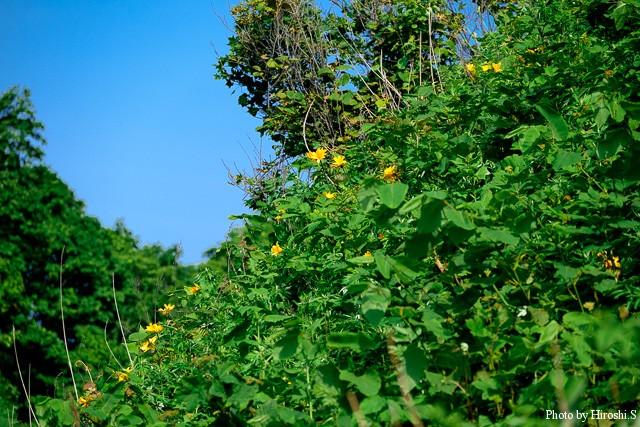 原生花園から少し離れた崖斜面には、エゾカンゾウが咲いていた