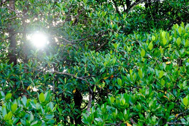 西表島 後良川にて ヒルギの間から太陽の光が
