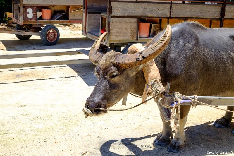竹富島 この水牛は生まれは西表の由布島とのことだ