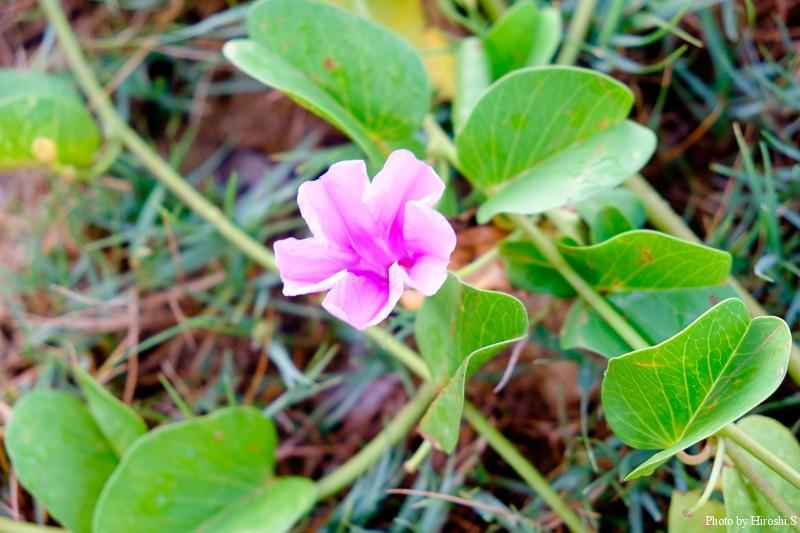 西表島 ハマヒルガオ この種は北海道から南西諸島まで分布しているらしい