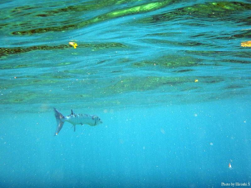 西表島 船浮~網取 バラクーダが表層を泳いでいるのが判る(画像処理で強調)
