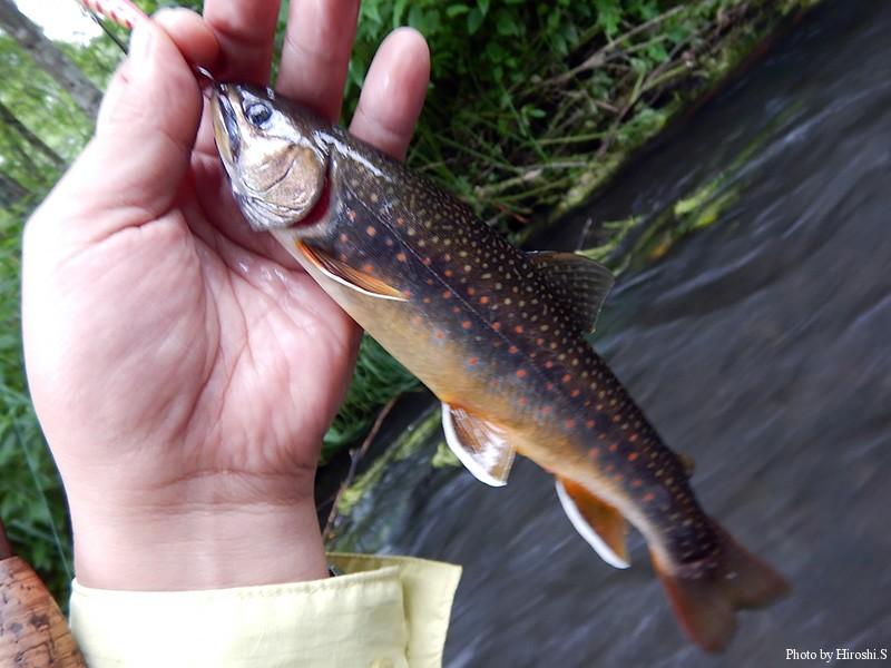 久しぶりに西別川でオショロコマに出会った。
