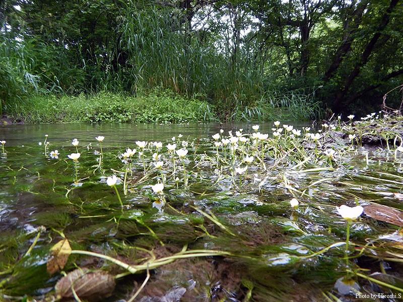 阿寒湖の前に西別川にも立ち寄ったが、この時期でも梅花藻の花が咲いていた。