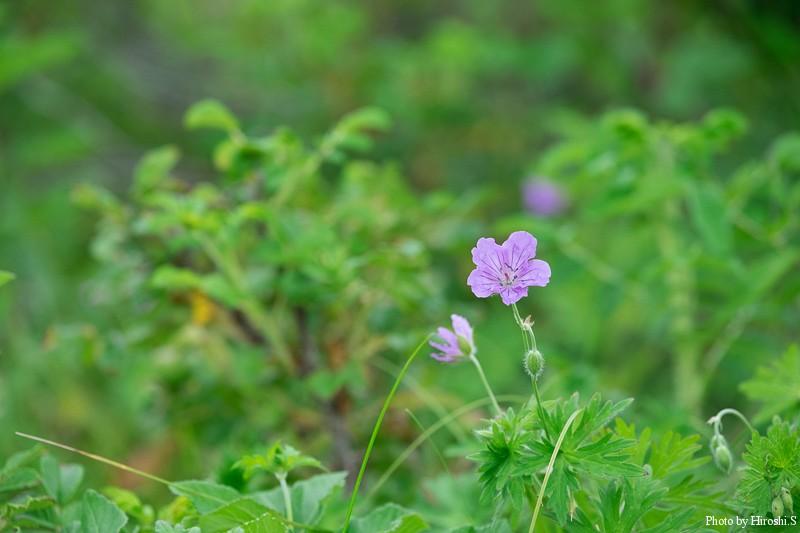トイトッキ原生花園 エゾフウロ