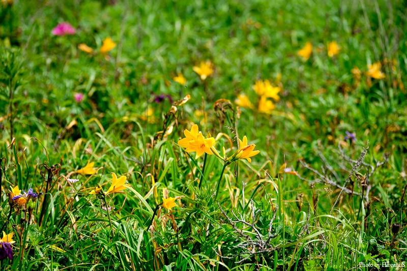 野付半島では、まだエゾカンゾウが咲いていた