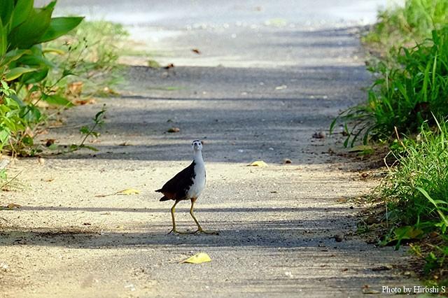 西表島のシロハラクイナ(撮影は2015念)