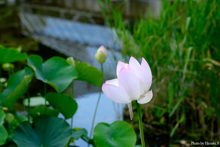 北海道では蓮は珍しい