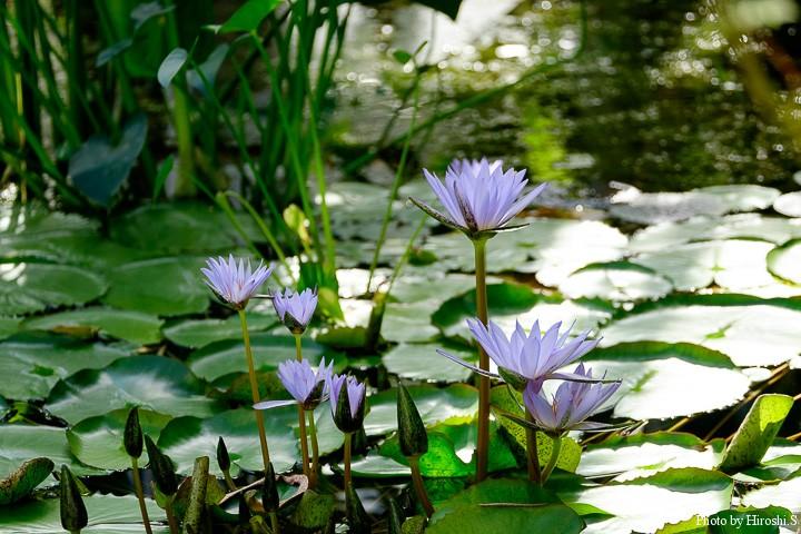 温室に咲くネッタイスイレン
