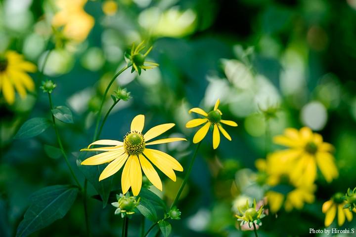 安平町 鹿公園 オオハンゴンソウ 写真は綺麗だが、問題となっている帰化植物だ