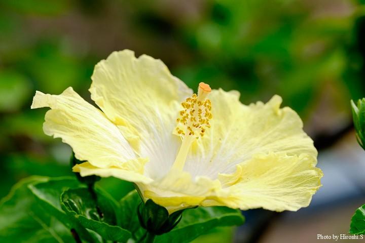 ハイビスカスの園芸種レモンシフォン