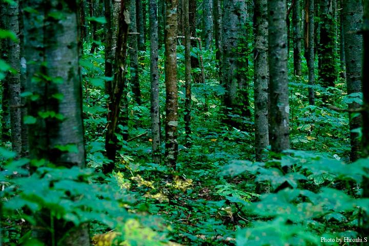 タマゴタケの鮮烈な色は、森の中でも非常に目立つ。