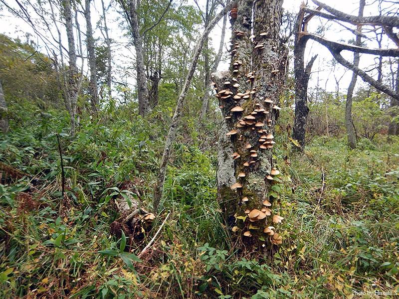 ちょっとした林には、ムキタケが群生していた。