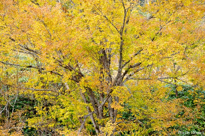 黄紅葉は美しくも、寂しくもある色だ。