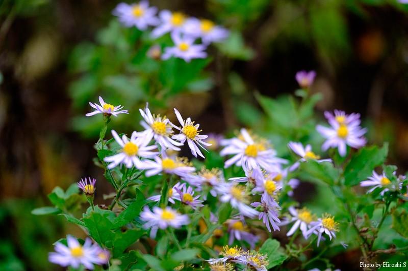 エゾノコンギク 今時期では貴重な在来種の花である。