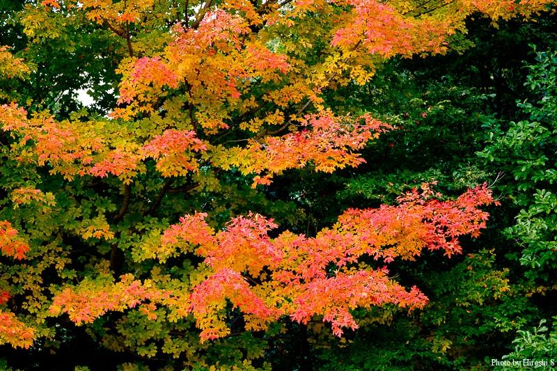 北大植物園の紅葉 この木が一番美しかった。