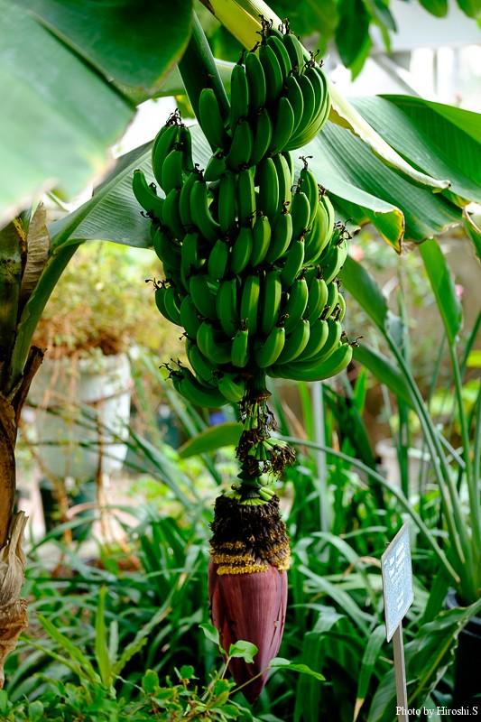 温室にて 三尺バナナ 食用らしい