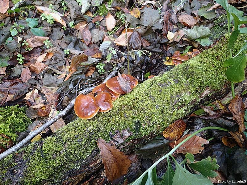 これはエノキタケ 老菌になると、色が濃くなるようだ。