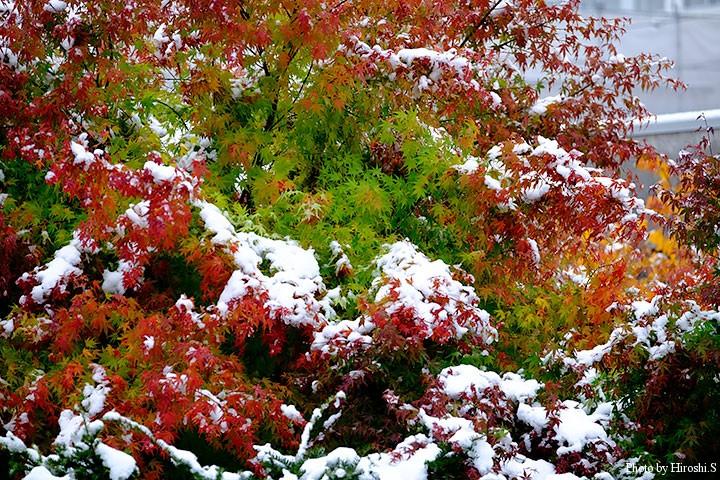 まだ、緑の葉もあるというのに、雪が積もっている。