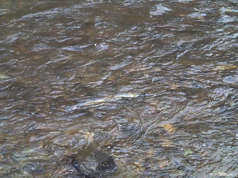 既に鮭の遡上が始まっている。